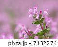 ホトケノザ サンガイグサ 花の写真 7132274