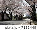 並木道 桜 ソメイヨシノの写真 7132449
