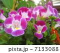 トレニアの花 7133088