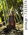 筍 竹の子 たけのこの写真 7133574