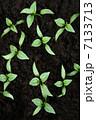 双葉 芽生え 新芽の写真 7133713