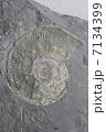 アンモナイトの化石 7134399