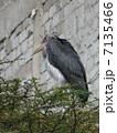 アフリカハゲコウ 7135466