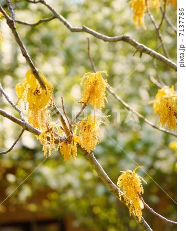 オウゴンガシワ 花言葉:自由 Quercus aliena Blume cv.Lutea 7137786