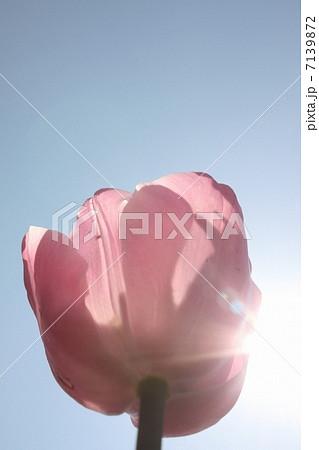 花、チューリップ、植物、葉、花びら、青空、空、大空、光、太陽 7139872