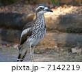 石千鳥 オーストラリアイシチドリ チドリの写真 7142219