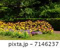 4月花 ビオラ・スミレ科67 7146237