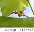 葡萄の花のつぼみ Flower buds of grape 7147792