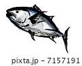 クロマグロ(本マグロ) 7157191