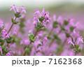 ホトケノザ サンガイグサ 花の写真 7162368