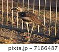 オーストラリアイシチドリ チドリ 鳥の写真 7166487