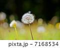 カントウタンポポ 野草 タンポポの写真 7168534