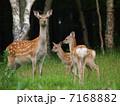 エゾジカ 鹿 哺乳類の写真 7168882