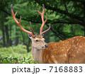 エゾジカ 鹿 哺乳類の写真 7168883