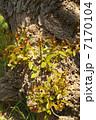 アメリカデイゴ カイコウズ 新芽の写真 7170104