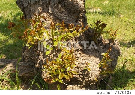 アメリカデイゴの芽吹き 7170105