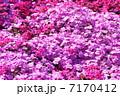 シバザクラ 花 満開の写真 7170412