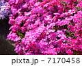 シバザクラ 花 満開の写真 7170458