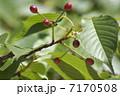 ヤマザクラ 山桜 赤い実の写真 7170508