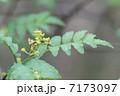 山椒の花 7173097