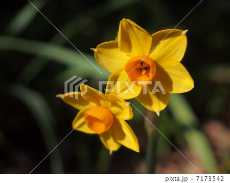 黄色い水仙(グランドソレドール) 7173542