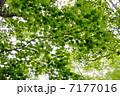新緑のオオイタヤメイゲツ 7177016