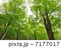 新緑のオオイタヤメイゲツ 7177017