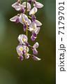 フジ 藤 花の写真 7179701