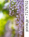 フジ 藤 花の写真 7179702