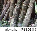 キノコ栽培 シイタケ栽培 椎茸の写真 7180308