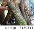 原木栽培 シイタケ栽培 椎茸の写真 7180311