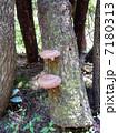 キノコ栽培 シイタケ栽培 椎茸の写真 7180313