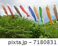 こどもの日 鯉幟 端午の節句の写真 7180831