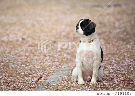 横向く犬 7191105
