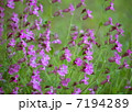 草花 芝桜 花の写真 7194289