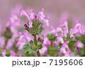 ホトケノザ サンガイグサ 花の写真 7195606