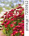 デージーのある花壇 7230912