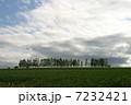 麦 麦畑 防風林の写真 7232421