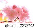 八重桜 ヤエザクラ 桜の写真 7232798