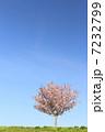 八重桜 ヤエザクラ 桜の写真 7232799