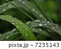 水玉 雨 草の写真 7235143