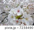 花 桜 ソメイヨシノの写真 7238490