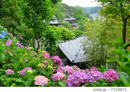 鎌倉長谷寺の紫陽花 7239671