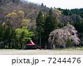 枝垂れ桜 桜 一本桜の写真 7244476