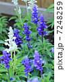 サルビア ブルーサルビア 花の写真 7248259