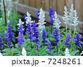 サルビア ブルーサルビア 花の写真 7248261