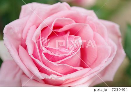 バラ 薔薇 ばら ローズ Rose 綺麗な花 癒し ピンク 美容 アップ 7250494