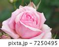 バラ 薔薇 ばら ローズ 綺麗な花 Rose 癒し ピンク 美容 アップ 7250495