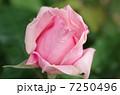 バラ 薔薇 ばら ローズ 綺麗な花 Rose 癒し ピンク 美容 7250496