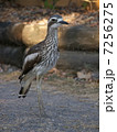 石千鳥 オーストラリアイシチドリ チドリの写真 7256275